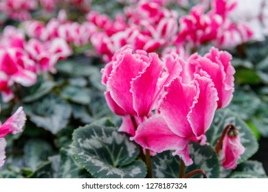 Bright pink and white cyclamen flowers. Cyclamen persicum blooming plant; close up