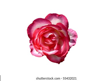 Bright Pink and White Rose Flower Isolated on White
