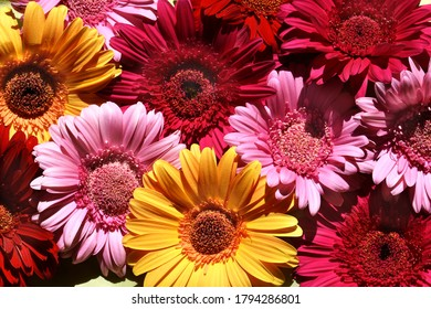 Bright pink yellow and red gerbera flowers macro background for florist. Flowery pattern.