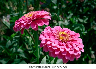 Bright pink zinnia flowers in the garden (common zinnia, youth-and-age, elegant zinnia).  blurred green background.
