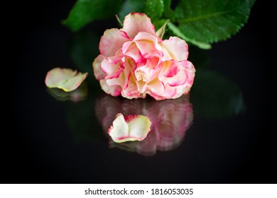 bright pinkrose with green leaves, on a black background