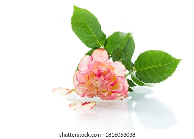 bright pinkrose with green leaves, on a white background
