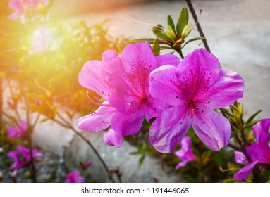bright pink-violet purple flowers flower on nature garden / Purple azalea flowers - azalea thai Rhododendron Ericaceae