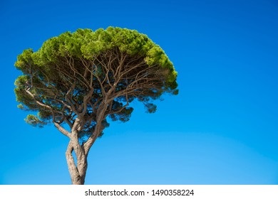Bright portrait view of the iconic Mediterranean shape of an Italian stone pine tree against vibrant blue sky in Capri, Italy