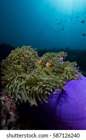 Bright purple Anemone and fish underwater coral reef