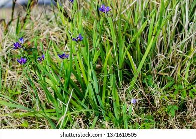 Bright purple Bermudiana blooms in a field of green