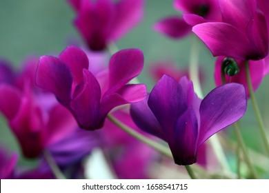 bright purple cyclamens in the spring garden