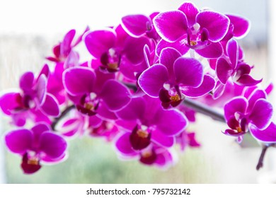 Bright Purple orchid flowers  against a white background.  Selective focus.