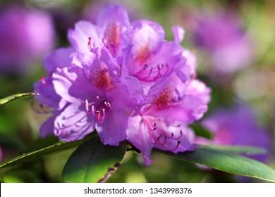 Bright purple rhododendron flower