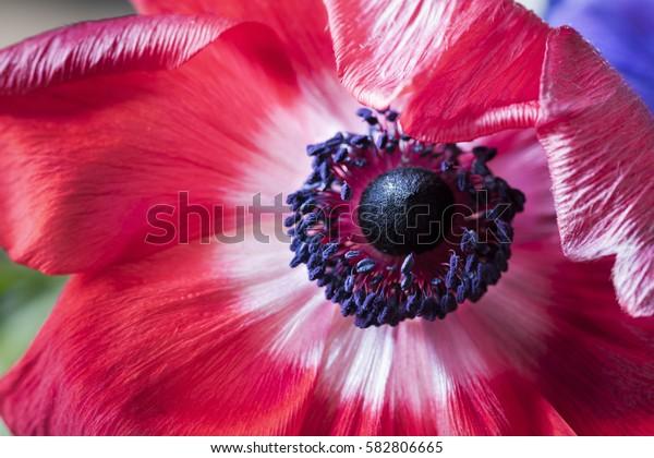 Bright Red Anemone Flower Macro