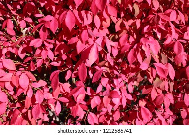 Bright red autumn leaves.