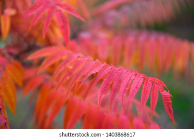 Bright red autumn leaves, sumac plant background.