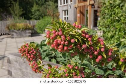 Bright Red Autumnal Fruit of a Crab Apple Tree (Malus 'Adirondack') in a Kitchen Garden in Rural Devon, England, UK