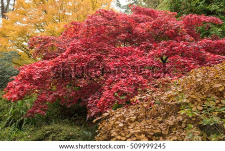 Bright Red Autumnal Leaves Acer Palmatum Stock Photo Edit Now