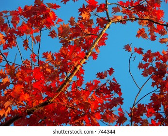 Bright red autumnal leaves over a blue sky