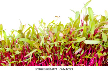 Bright red beet sprouts on white background. Young plants microgreens beetroot. Cotyledons of Beta vulgaris in potting compost. Macro photo micro greens. Healthy eating concept