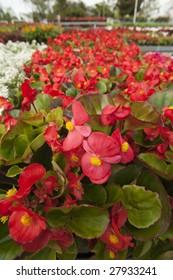 Bright red Begonias