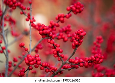 Bright red berries of a Winterberry (Ilex verticillata), a native deciduous holly that loses its leaves during winter. Raleigh, North Carolina.