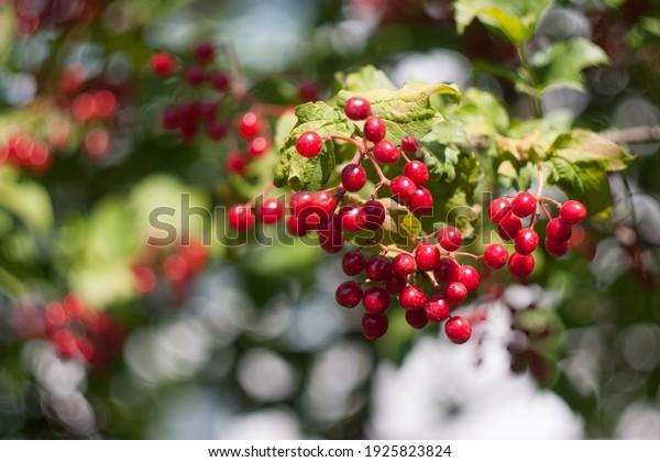 bright-red-bunches-viburnum-berries-600w