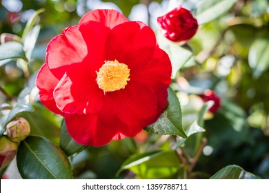 Bright red camellia blossom in spring against green leaves
