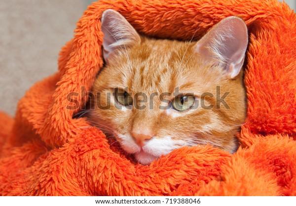 bright red cat is sitting in a plush soft orange wrap. Sick cat