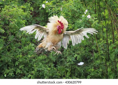 bright red cock jumped high and spread its feathers wings