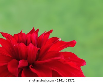 Bright red dahlia flower against green background. Babylon Red variety dinnerplate class dahlia hybrid