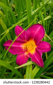 A bright red daylily (Hemerocallis) in the close-up garden. Horticulture, floriculture, greenery