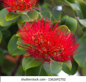 Bright red dazzling blooms of metrosideros  New Zealand Christmas tree species flowering in early summer add color to the December land scape and provide food for birds and bees.