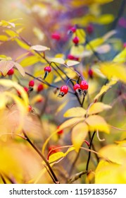 Bright red dog rose berries among foliage