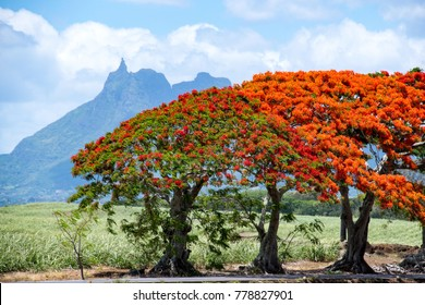 Bright red flame tree from Mauritius with iconic Pieter Both mountain in the background