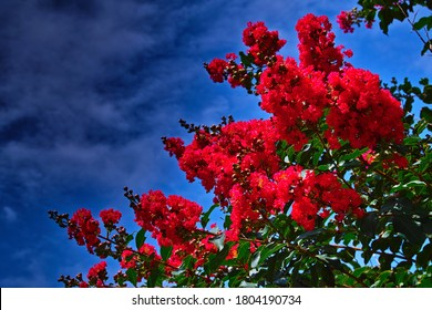 Bright Red Flower Clusters of Crape Myrtle against the Late-summer Sky