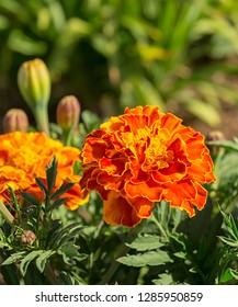Bright red flower grows on flowerbed on background of the green herb