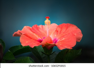 Bright red flower of hibiscus (Hibiscus rosa sinensis) on black background. Karkade native to tropical regions. Hawaiian wild red Hibiscus Plant. Hibiscus comprising several hundred species.