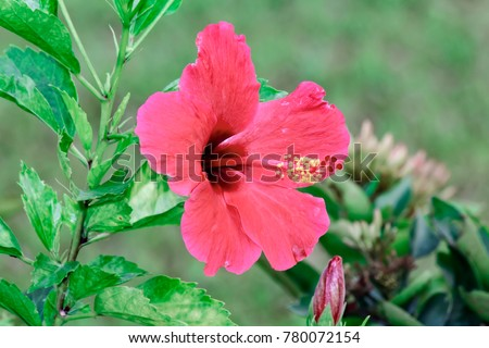 Bright Red Flower Hibiscus Hibiscus Rosa Stock Photo Edit Now