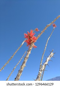 A bright red flower kisses the sky in the vast blue desert sky.  This ocotillo cactus captures both the harshness and beauty that lives in balance in the California desert.
