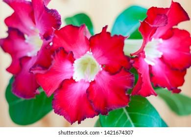 Bright red flowers of adenium with light throat, close-up. Blooming adenium
