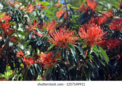 Bright red flowers of the Australian native Tree Waratah, Alloxylon flammeum, family Proteaceae. Also known as the Red Silky Oak. Endemic to rainforest in north east Queensland.