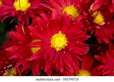 Bouquet of chrysanthemum flowers ez canvas bright red flowers with yellow center closeup mightylinksfo