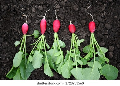 Bright red fresh radishes with green leaves, just plucked from the garden, lie on the ground close-up. Five fresh radishes lie in a row on the brown ground