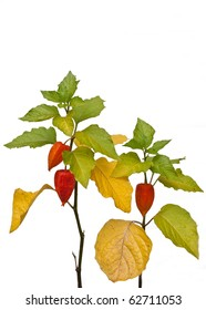 Bright red fruit of winter cherry (Physalis alkekengi) on the plant, isolating background