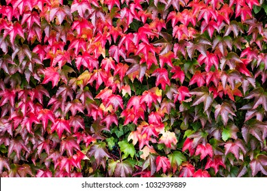 bright red and green autumn background with ivy