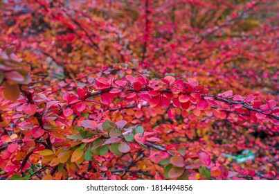 Bright red and green Berberis thunbergii (Japanese barberry) leaves background. Creative autumn background of barberry bush leaves. Seasonal concept. Red green barberry leaves in autumn in Latvia.