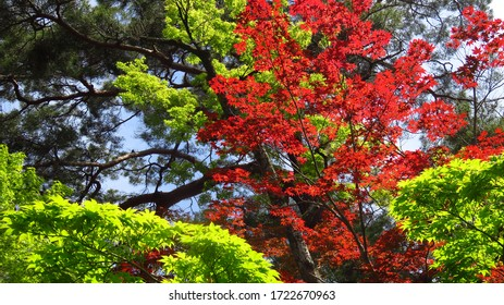 Bright Red and Green Leaf Trees