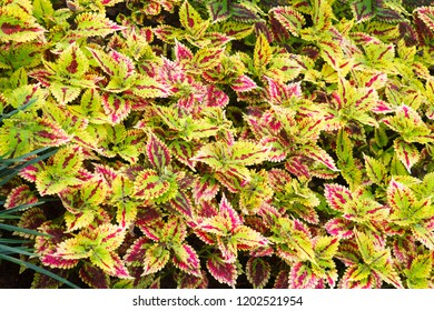Bright Red Green Skullcaplike Coleus, Coleus Blumei, also named painted nettle background. They are cultivated as ornamental plants, which is popular as a garden plant for its bright colored foliage.