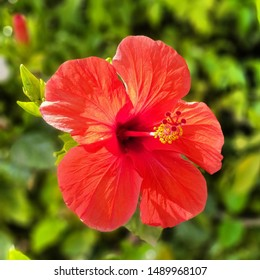 A bright red Hibiscus flower against a leafy green background