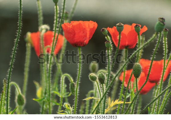 Bright red Himalayan poppies in a garden in the Himalayan village of Chaukori in Uttarakhand, India.