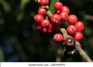 Bright red Holly berries, reflecting winter sunlight - clumped together on a little branch of the tree.