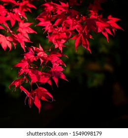 Bright red Japanese Maple (Acer palmatum) leaves in autumn against a dark background.