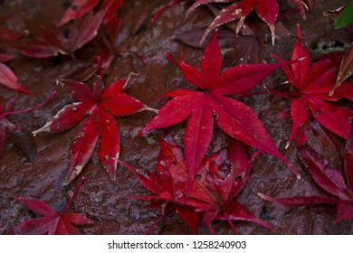 Bright red Japanese maple leaves on a rain slicked stone
